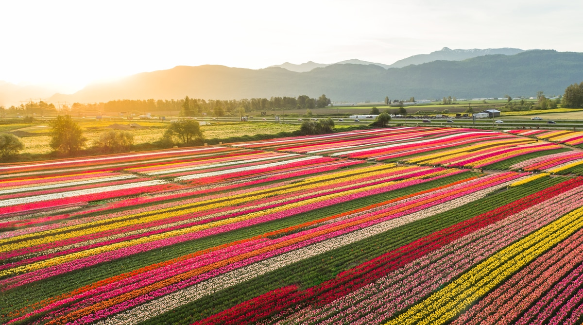 Abbotsford Tulips