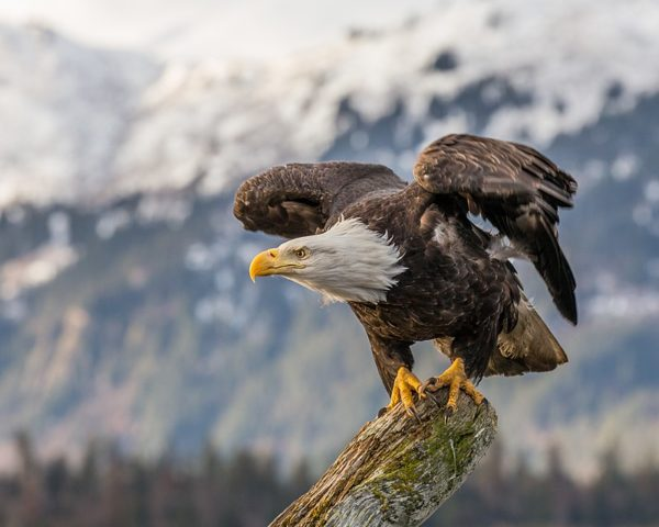eagles in harrison hot springs